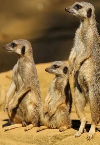فيلم Meet the Meerkats 2020 مترجم